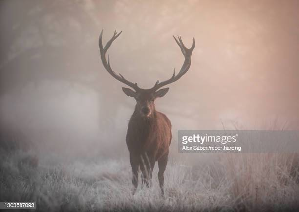 a large red deer stag (cervus elaphus) stands his ground in foggy richmond park one winter morning, richmond, greater london, england, united kingdom, europe - alex saberi stock pictures, royalty-free photos & images