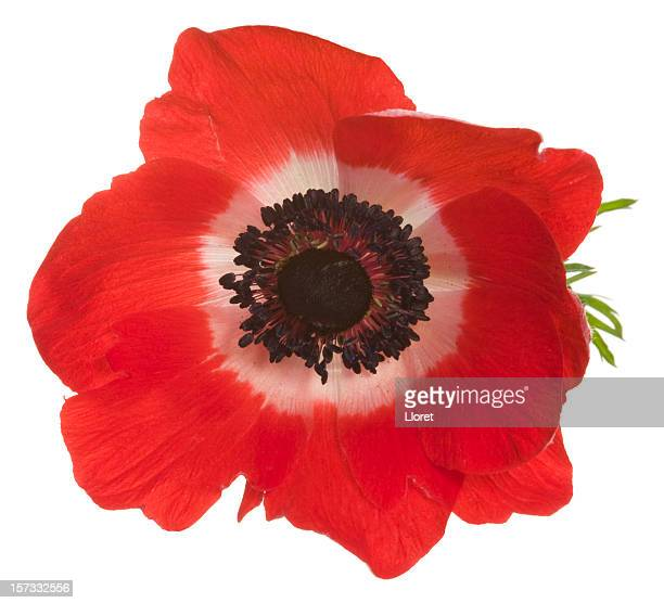 Large red poppy with white in the center