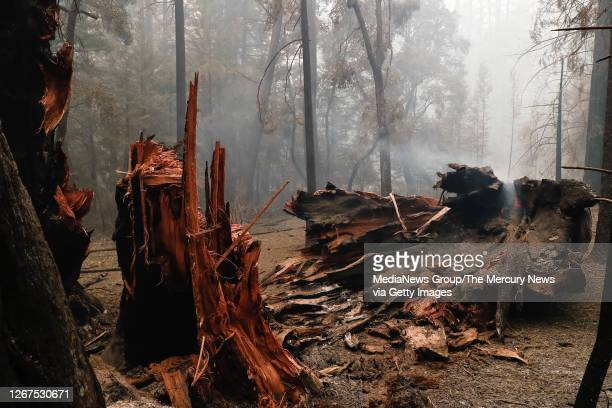 Large redwood tree falls down after sustaining damage during a fire near the Big Basin Redwoods State Park Headquarters & Visitor Center in Boulder...