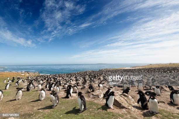 großen rockhopper-pinguin-kolonie auf den falklandinseln - falklandinseln stock-fotos und bilder