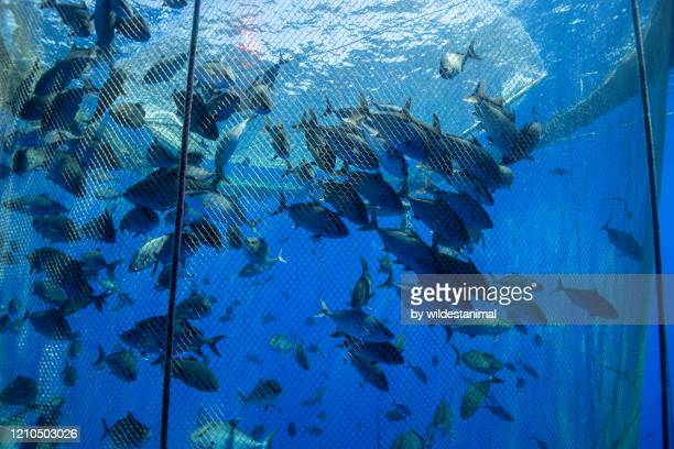 large school of fish in a fish farm off the coast of the big island, hawaii. - aquaculture stock pictures, royalty-free photos & images