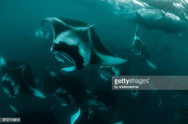 Large school of manta, or mobula, rays feeding on copepods in the waters of Hanifaru Bay, Baa Atoll, Maldives.