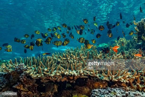 ミドリイシの上の網目状のミスジリュウキュウスズメダイの大学校、プラ島、インドネシア - ハードコーラル ストックフォトと画像