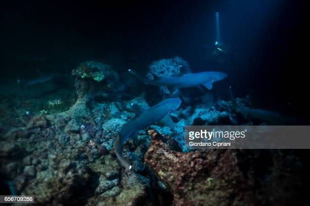 large school of white tip reef sharks that patrol the coral reef at night to hunt in cocos island national park. - fondale marino foto e immagini stock