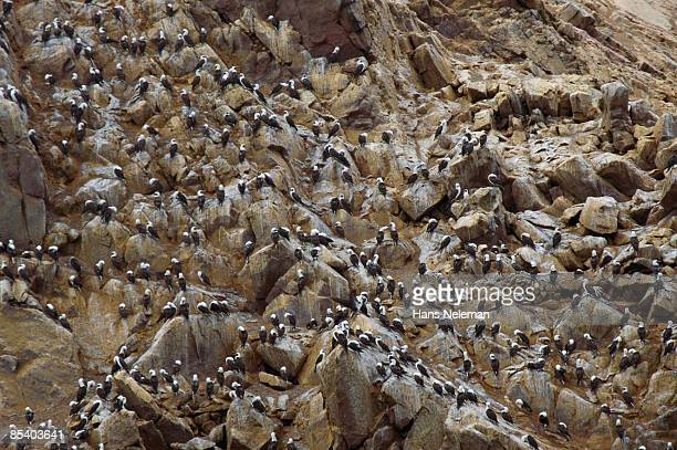 Large sea cliff  bird colony of Masked Booby
