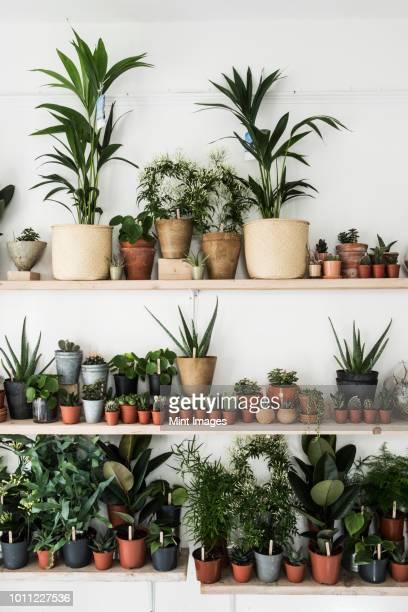 large selection of plants in flowerpots on shelves in a plant shop. - plante grasse photos et images de collection
