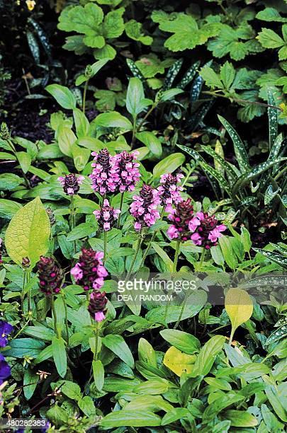 Large Selfheal Lamiaceae