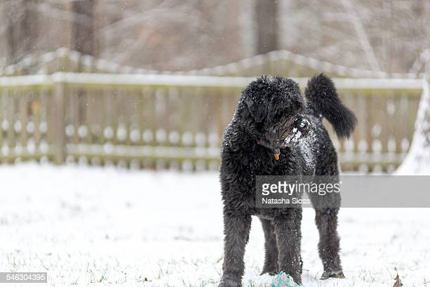 Large shaggy dog in the snow