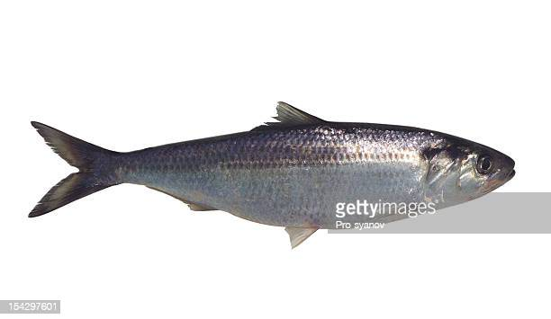 Large silver fish isolated on a white background