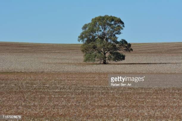 large single tree growing in the outback of australia - rafael ben ari bildbanksfoton och bilder