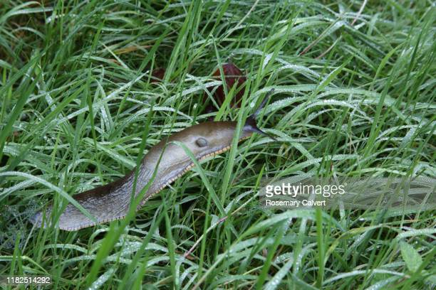 large slug moving through long wet grass. - limace photos et images de collection