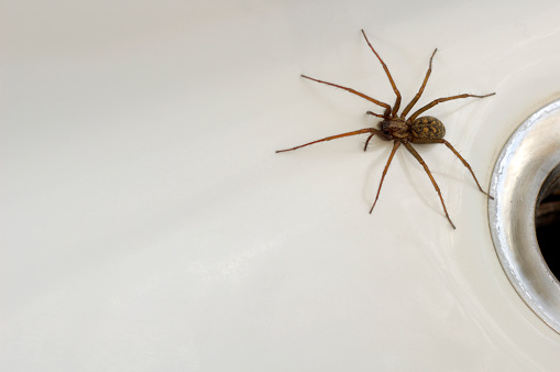 Large spider coming from the drain close-up 144188644