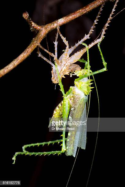 Large spiny bush cricket changing its skin