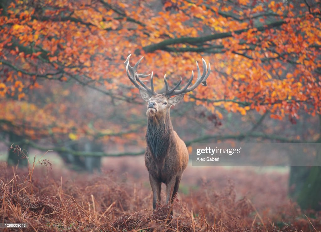 A large stag in an autumn forest. : Stock Photo