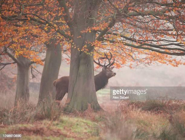 a large stag in an autumn forest. - alex saberi - fotografias e filmes do acervo