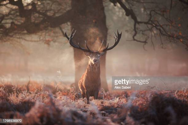 a large stag in an autumn forest. - alex saberi stock pictures, royalty-free photos & images