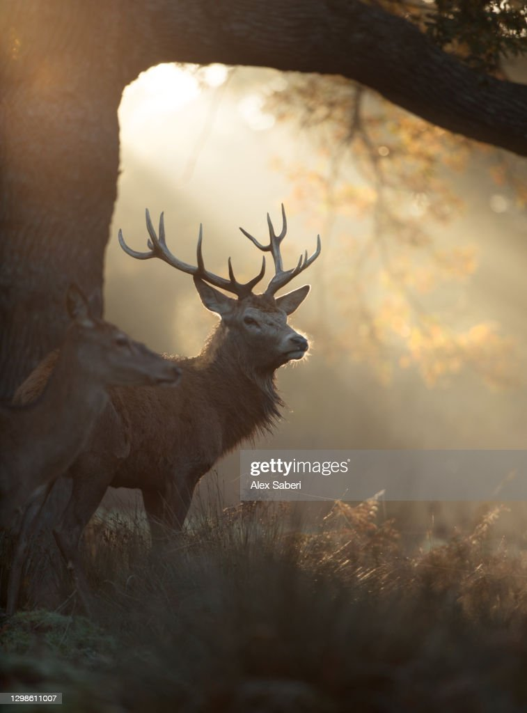 A large stag the mist. : Stock Photo