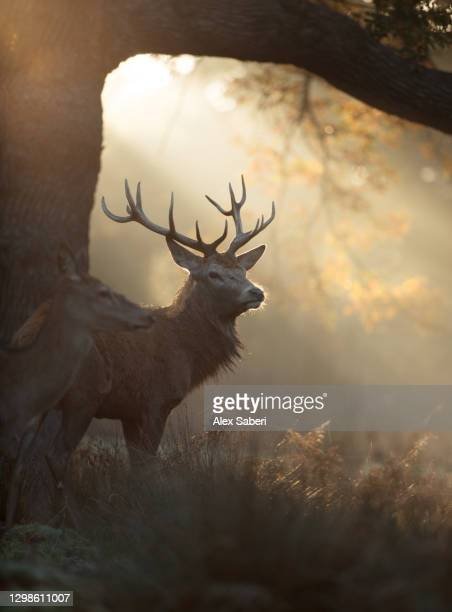 a large stag the mist. - alex saberi stock pictures, royalty-free photos & images