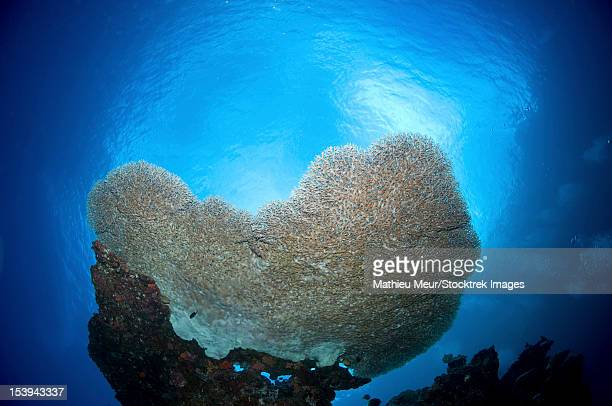 large staghorn coral viewed from below, christmas island, australia. - christmas island stock pictures, royalty-free photos & images