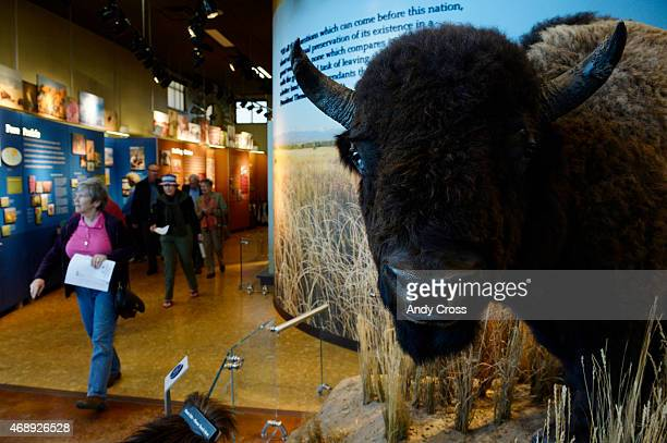 A large stuffed American Bison greets visitors at the Rocky Mountain Arsenal National Wildlife Refuge Visitor Center April 08 2015 Congresswoman Pat...