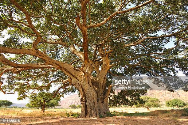 large sycamore fig tree near mariam papaseity church - sycamore tree stock photos and pictures