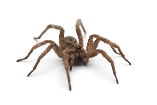 Large tarantula on white surface 471240873