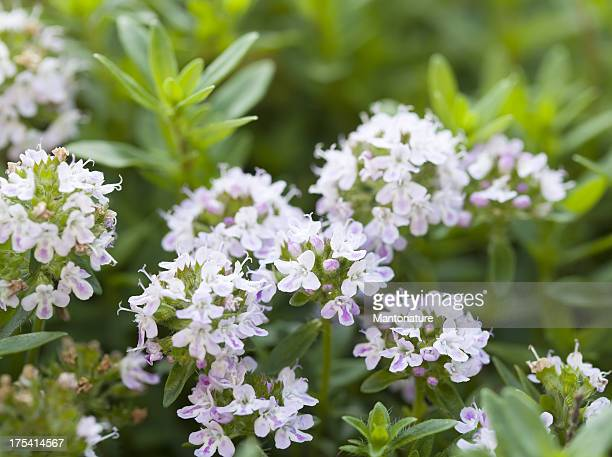 large thyme (thymus pulegioides) - thyme stock pictures, royalty-free photos & images