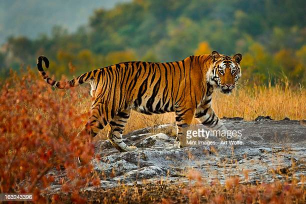 A large tiger in Bandhavgarh National Park, Madhya Pradesh, India