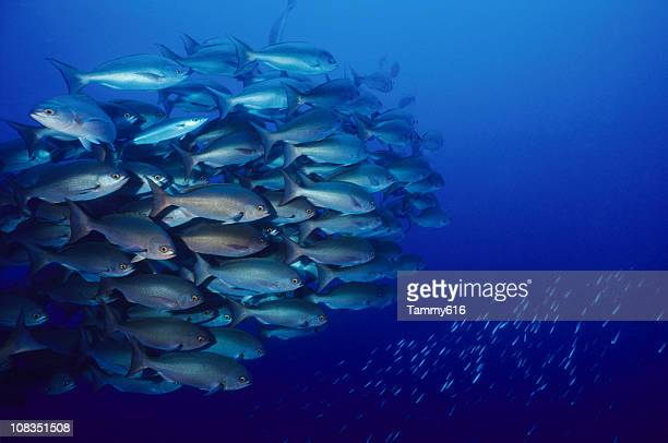 Large, tightly grouped school of snapper fish