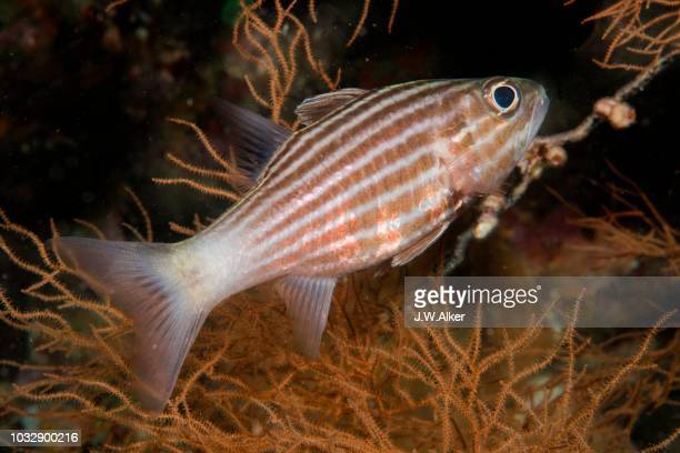 large toothed cardinalfish (cheilodipterus macrodon), indonesia - vista lateral stock pictures, royalty-free photos & images