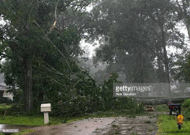 Large tree is felled by the early winds of Hurricane Gustav September 1, 2008 in Lafayette, Louisiana. Lafayette is next in line to take on the brunt...