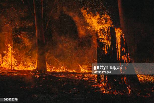 large tree on fire in burning forest in queensland austrlia - forest fire stock pictures, royalty-free photos & images