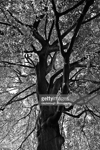 large tree otley chevin - オトレイ ストックフォトと画像