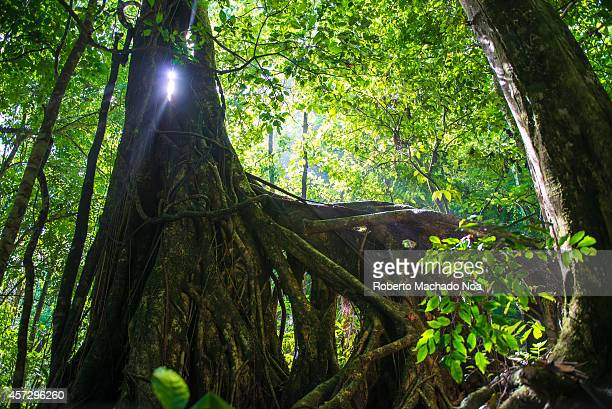 Large tree with the roots in the air and light coming through its trunk Scene taken in El Nicho Cuba Once a guerrilla warfare training camp now a eco...