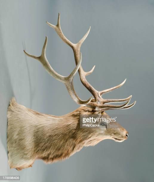Large Trophy Elk Taxidermy