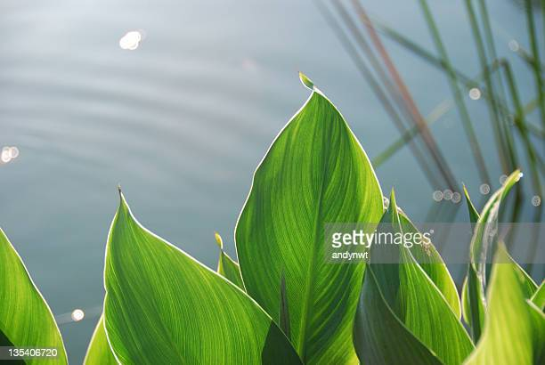 Large tropical leaves with a pond in the background