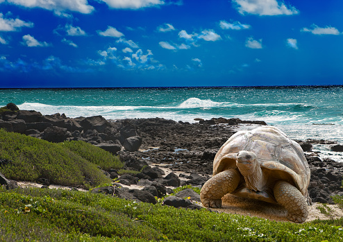 Large turtle  at  sea edge on background of tropical landscape 479910306
