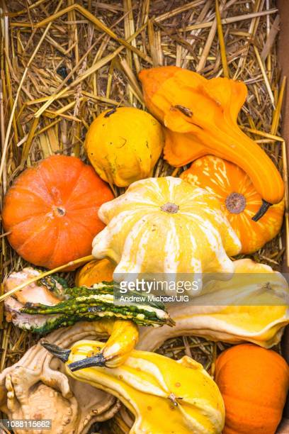 large variety of pumpkins of different shapes on sale at campo de' fiori market, rome, italy. - ugly pumpkins stock photos and pictures