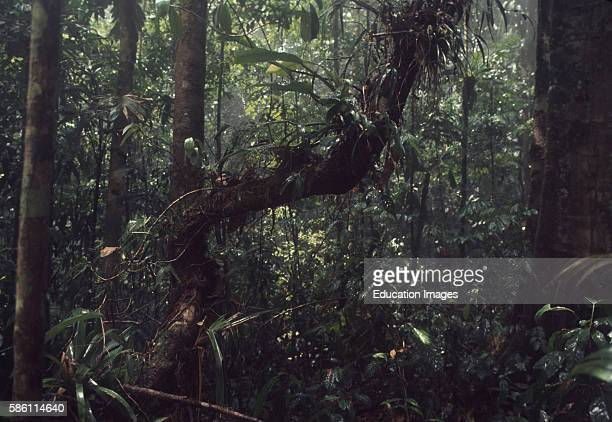 Large vine with epiphytes Cathedral Rain Forest Science Preserve Osa Peninsula Costa Rica 1977