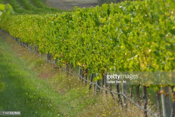 large vineyard in tasmania australia - rafael ben ari stock-fotos und bilder