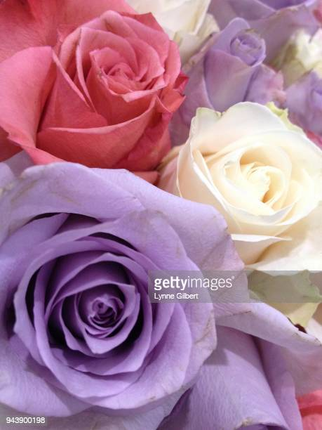 a large wall of beautiful roses are lined up for a wedding backdrop - zachtroze stockfoto's en -beelden
