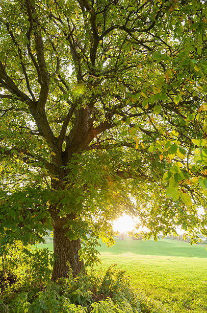 """Large walnut tree (Juglans regia) in the evening light, autumn"""