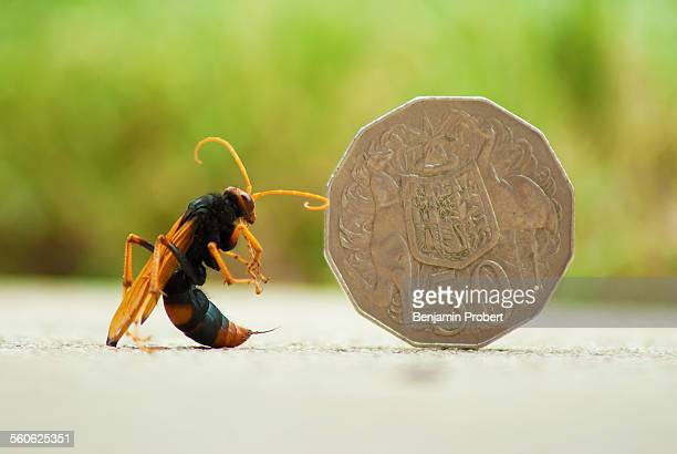 Large wasp next to an Australian 50 cent piece