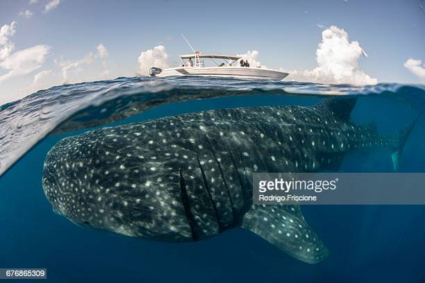 Large whale shark (Rhincodon typus) passing below boat at sea surface, Isla Mujeres, Mexico