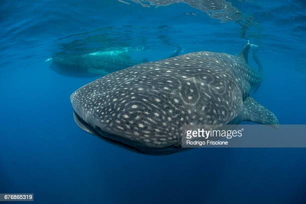 large whale sharks (rhincodon typus) feeding on fish eggs at sea surface, isla mujeres, mexico - isla mujeres stock photos and pictures