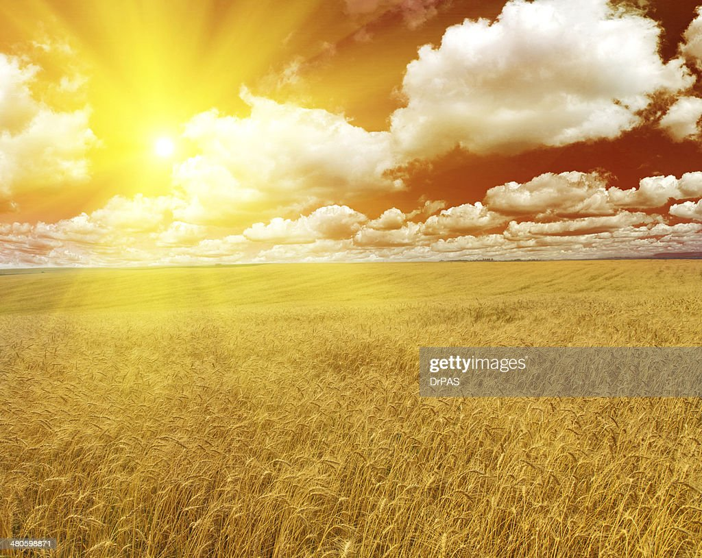 large wheat field at bright sunset : Stock Photo