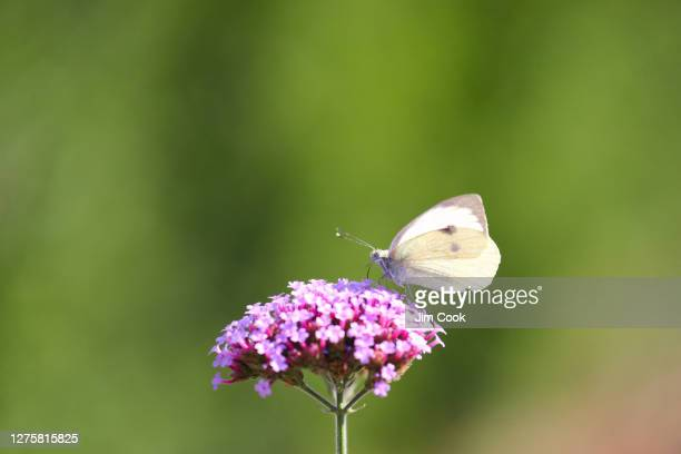 large white butterfly on plant - meadow stock pictures, royalty-free photos & images