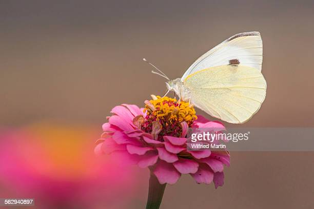 large white butterfly -pieris brassicae- on common zinnia -zinnia elegans- - animal digestive system stock photos and pictures