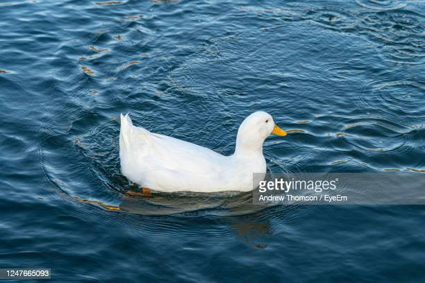 large white domestic pekin peking aylesbury american white duck on lake pond low level close up view - pekin duck stock pictures, royalty-free photos & images