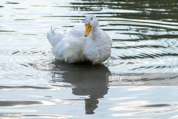 large white heavy duck also known as america pekin duck, long island duck, pekin or aylesbury duck - pekin duck stock pictures, royalty-free photos & images